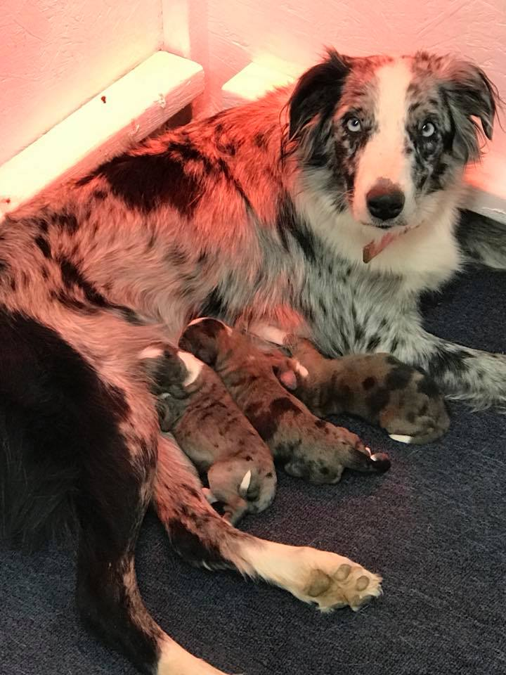 Aussie Doodles and their mom Sioux