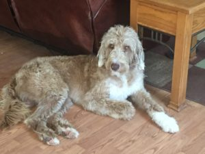 Hannibal-is-a-F1b-labradoodle