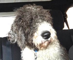 rocco, f1b doodle dog riding in the car