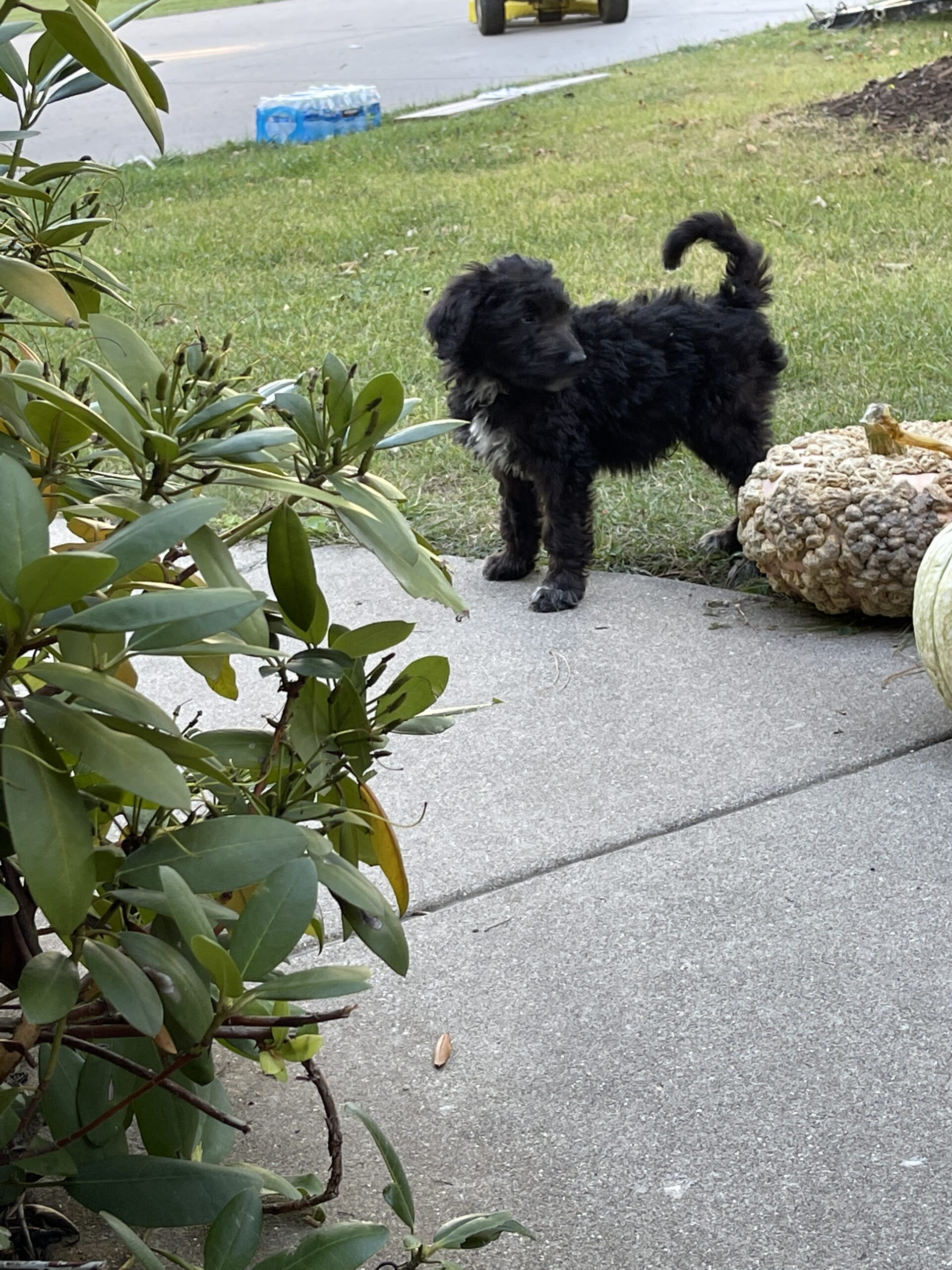 double doodle male pup playing near blanket